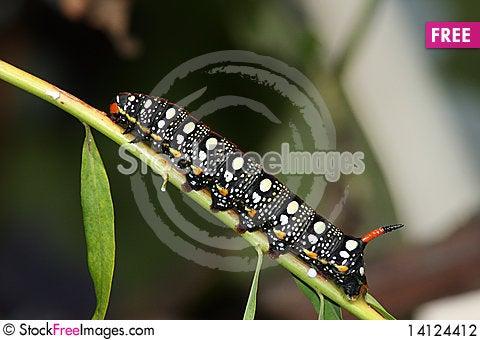 Free Hawk Moth Caterpillar (Hyles Euphorbiae) Stock Photography - 14124412