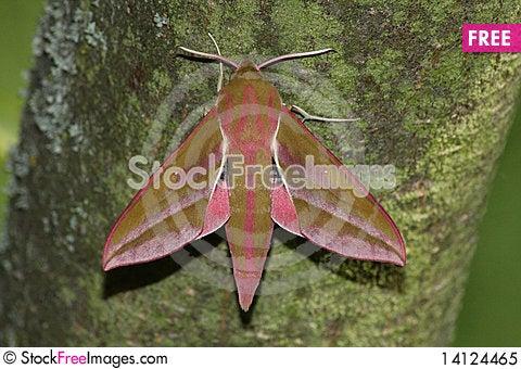 Hawk moth (Deilephila elpenor) Stock Photo