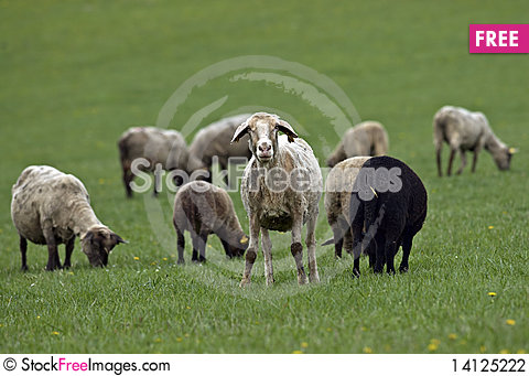 Free Sheeps On The Farm Stock Photography - 14125222