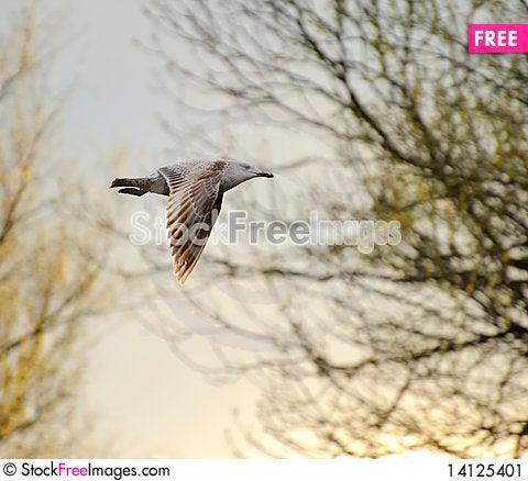 Free Juvenile Herring Gull Stock Image - 14125401