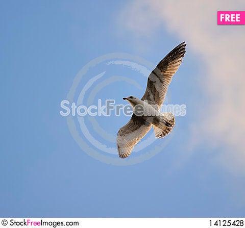 Free Juvenile Herring Gull Royalty Free Stock Photos - 14125428