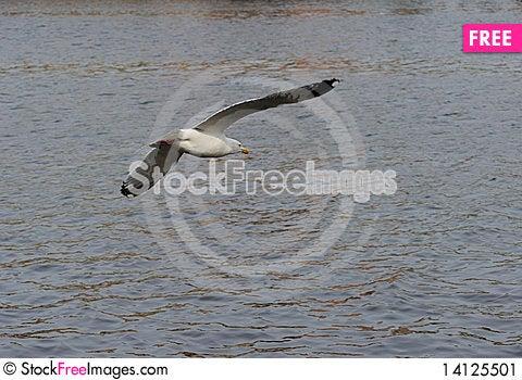 Free Herring Gull Stock Image - 14125501