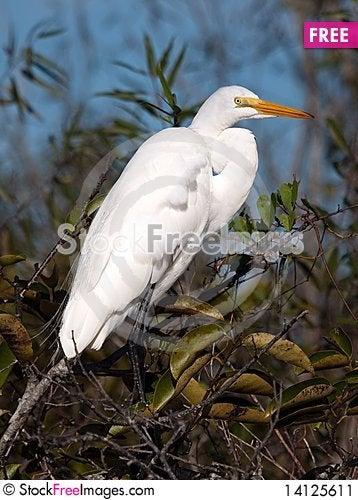 Free Great White Egret Stock Image - 14125611