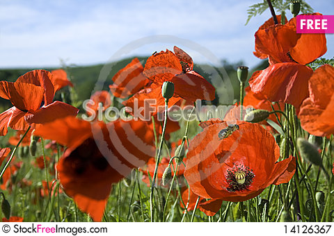 Free Red Poppy Field Royalty Free Stock Photography - 14126367