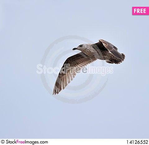 Free Juvenile Herring Gull Stock Photography - 14126552