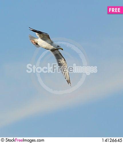 Free Herring Gull Royalty Free Stock Photo - 14126645
