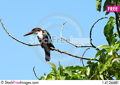 Free Kingfisher Bird Stock Image - 14126681