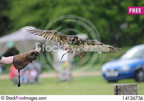 Free Owl Flying Royalty Free Stock Image - 14126736