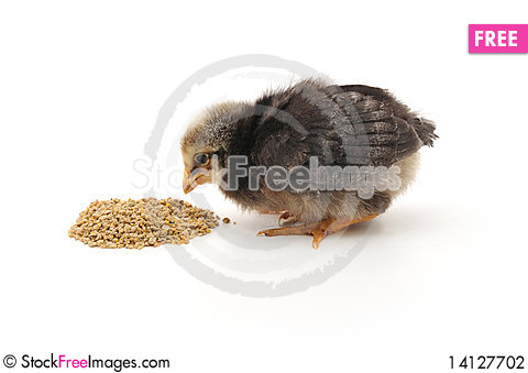 Free Baby Chicken Having A Meal Stock Photography - 14127702