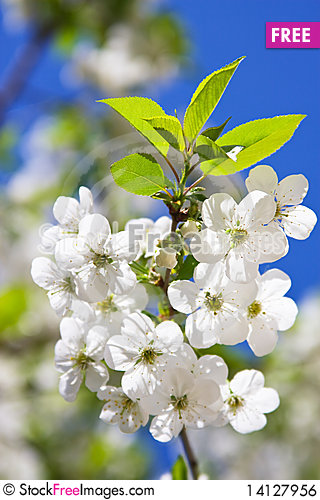 Free Branch Of Flowering Cherry Royalty Free Stock Image - 14127956