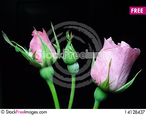 Free Roses Royalty Free Stock Photography - 14128437