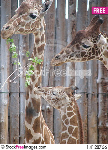 Free The Giraffe Family Royalty Free Stock Image - 14128766
