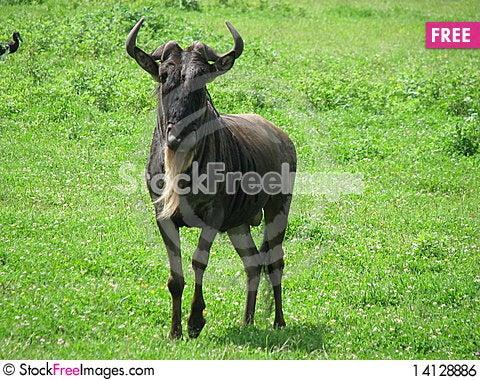 Free Blue Wildebeest (Tanzania) Royalty Free Stock Image - 14128886