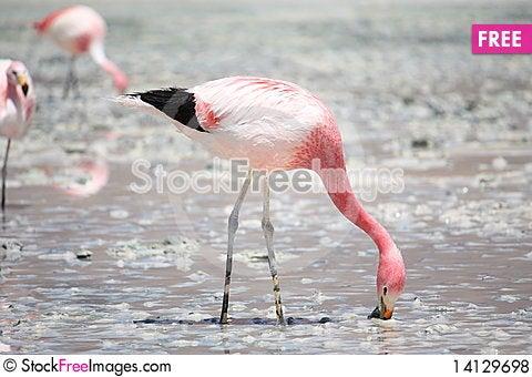 Free Flamingos Royalty Free Stock Photos - 14129698