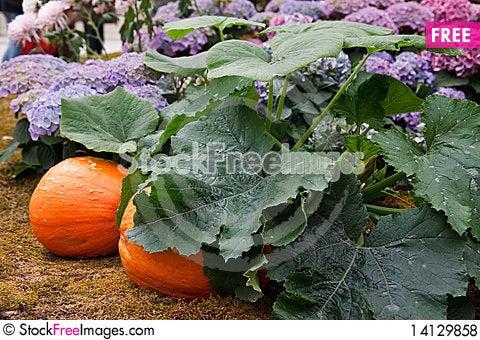 Free Pumpkin Royalty Free Stock Photos - 14129858