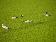 Stork Eat Field