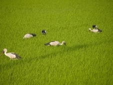 Stork Eat Field Stock Photo