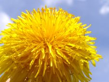 Free Dandelion Flower Background Royalty Free Stock Photo - 14120815