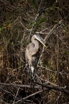 Free Great Blue Heron Royalty Free Stock Images - 14120929