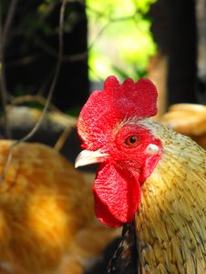 Free Rooster Stock Photos - 14120933