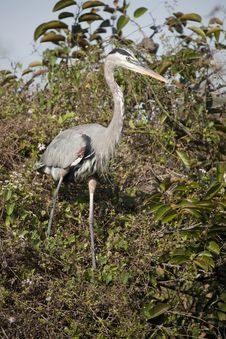Free Great Blue Heron Stock Images - 14120984