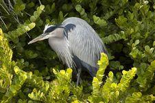 Free Great Blue Heron Stock Photos - 14121033