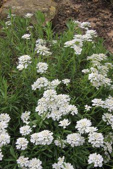 Free Massif Of White Flowers Stock Photos - 14121793