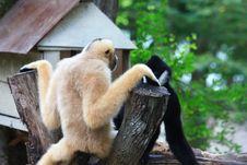 Free Monkey Royalty Free Stock Photos - 14122308