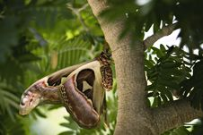 Free Owl Butterfly On Tropical Tree Stock Images - 14122534