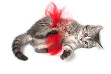 Isolated Grey Kitten Stock Photos