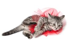 Free Isolated Grey Kitten Royalty Free Stock Images - 14122749