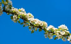 Free Blossoming Branch Of A Pear Tree Stock Photo - 14124190