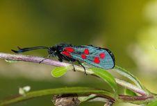Day Moth (Zugaena Ssp.) Royalty Free Stock Photos