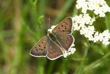 Day Butterfly (Heodes Ssp.) Stock Photo