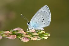 Day Butterfly (Lycaena) Royalty Free Stock Images