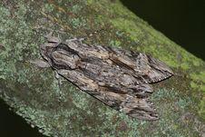 Hawk Moth (Sphinx Convolvuli) Royalty Free Stock Photography