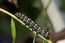Free Hawk Moth Caterpillar (Hyles Euphorbiae) Stock Photography - 14124412