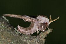 Free Hawk Moth (Smerinthus Ocellatus) Royalty Free Stock Photos - 14124518