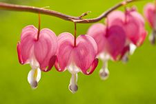 Free Bleeding Heart Royalty Free Stock Photo - 14124975