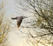 Juvenile Herring Gull Stock Image