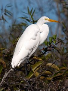 Free Great White Egret Stock Image - 14125611