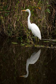 Free Great White Egret Stock Image - 14125901