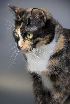 Free Three-coloured Cat Stock Image - 14126261
