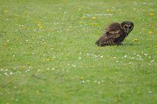Free Solitary Owl Stock Photo - 14126750