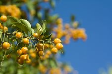 Free Sea Buckthorn Royalty Free Stock Photography - 14127387