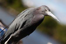 Free Little Blue Heron Stock Photos - 14127413