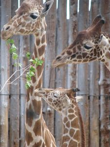 Free The Giraffe Family Royalty Free Stock Image - 14128766