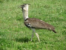 Bird (Ngorongoro, Tanzania) Royalty Free Stock Images