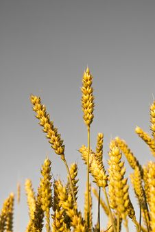 Free Wheat Plants On Neutral Background Stock Photography - 14129302