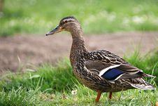Free Duck Stock Photos - 14129633